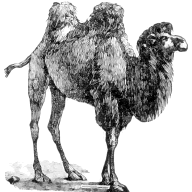 @camel-chased