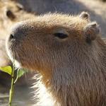 @s-capybara