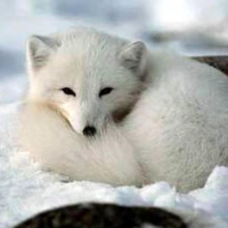 icy-arctic-fox