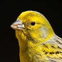 @canary