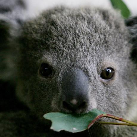 Koalacards