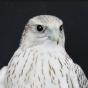 @Falcon-Peregrine